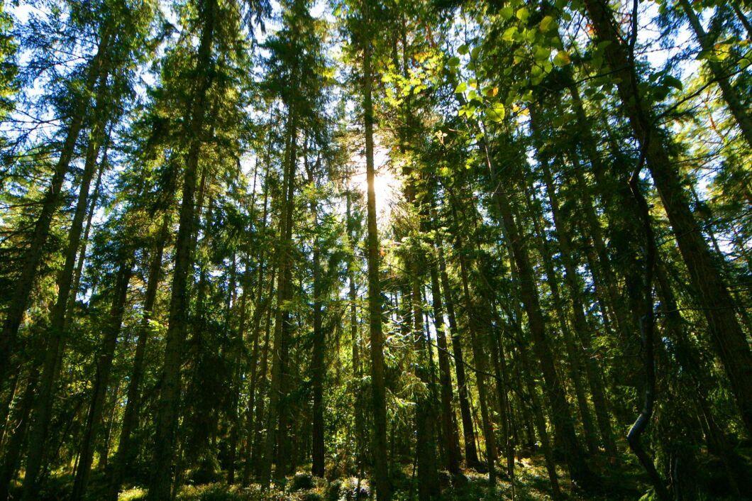 På Gotland är inte skogen den största inkomstkällan, utan jordbruket. Och det finns mycket skog som inte brukas aktivt.