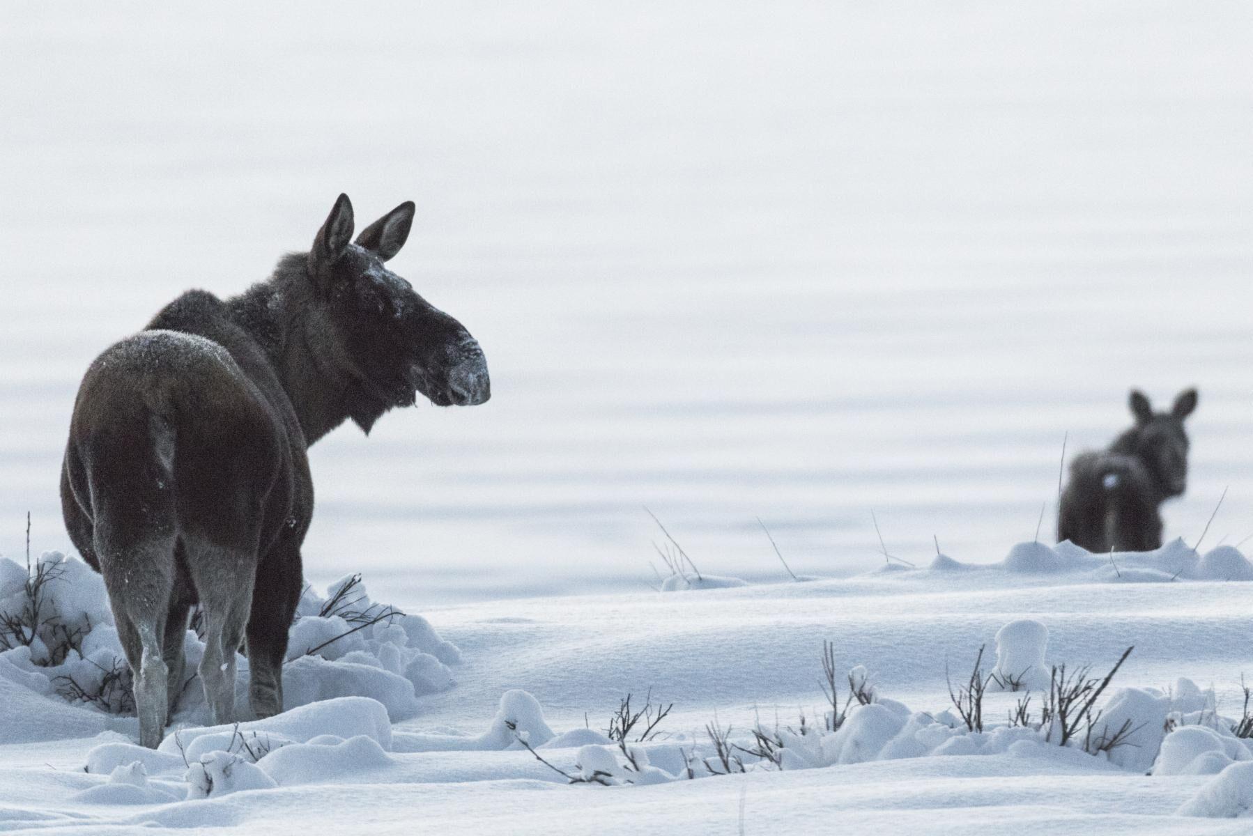 Markägarna i Långed vill ha skyddsjakt på 20 älgar för att skydda sin skog.