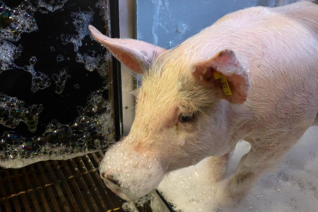 Förhoppningen är att bedövning med kvävgasskum ska ge bättre djurvälfärd inför slakt. Forskarna studerar också hur grisarna reagerar på själva skummet – här en gris med ofarligt skum.