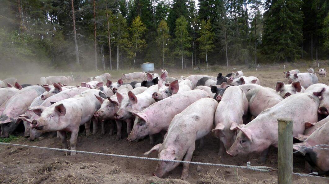 I dag finns cirka 50 000–55000 ekologiska grisar, varav 35000 Kravgrisar.