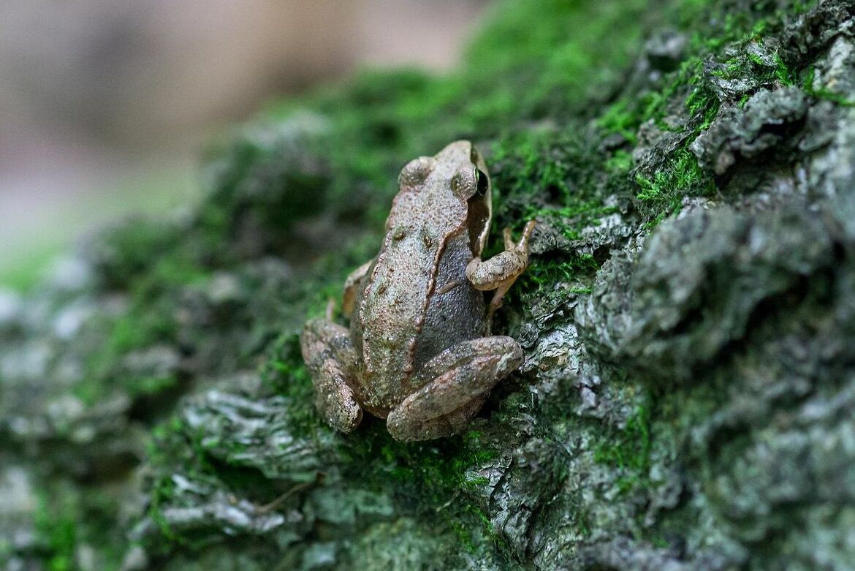 För arter listade i Art- och habitatdirektivet, som åkergroda, gäller ett strikt skydd oavsett bevarandestatus enligt en ny dom från EU-domstolen.