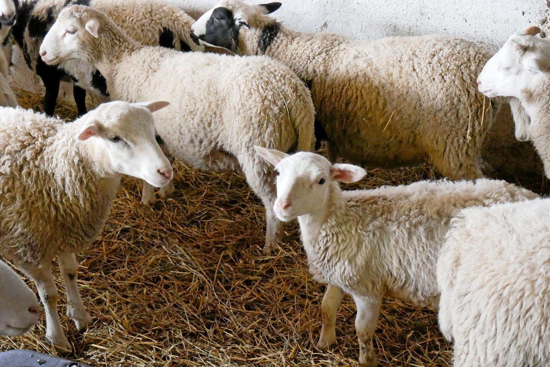 Det är höga slaktpriser på svenska lamm. HK Scan vill gärna att fler lamm ska levereras lite tidigare på säsongen.