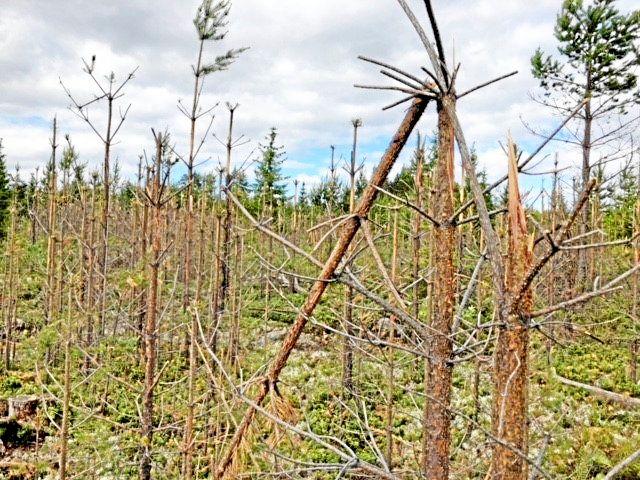 Träd som blivit angripna av svamp och älgbetning.