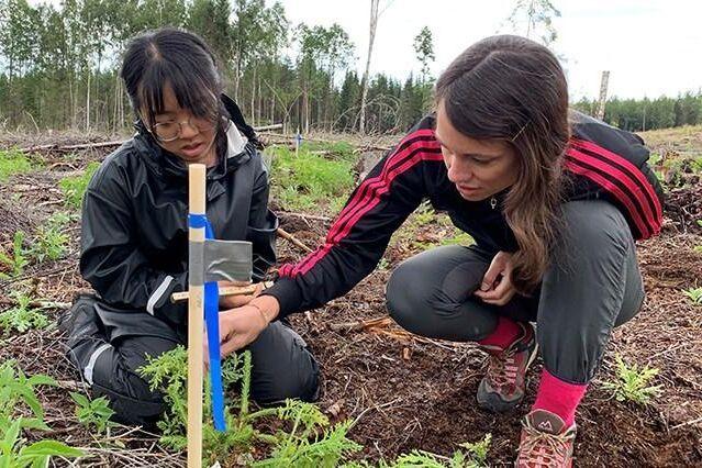 Yayuan Chen och Kristina Berggren undersöker en granplanta i ett snytbaggeförsök.