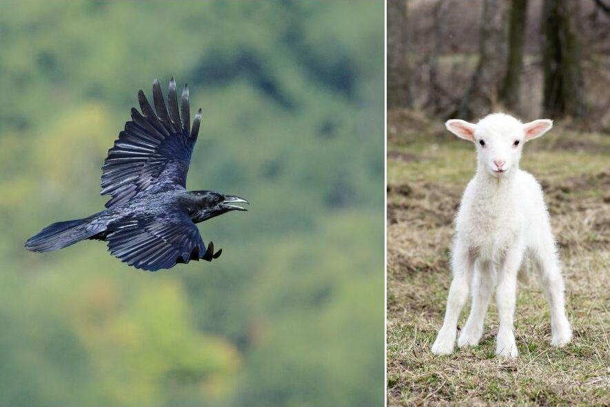 Korpen kan visst jaga och döda lamm hävdar flera fårbönder till ATL.