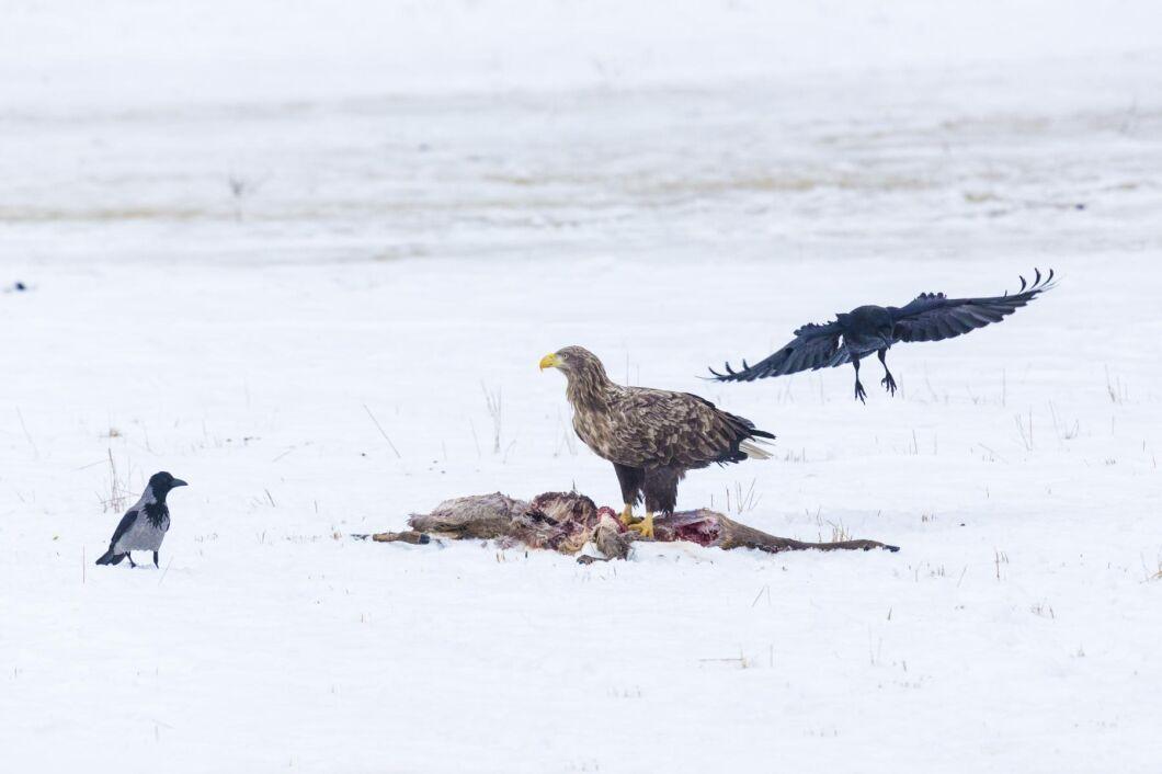 Rovfåglar som havsörn kan smittas av fågelinfluensa när de äter smittade kadaver eller dödar sjuka bytesfåglar som bär på smittan.