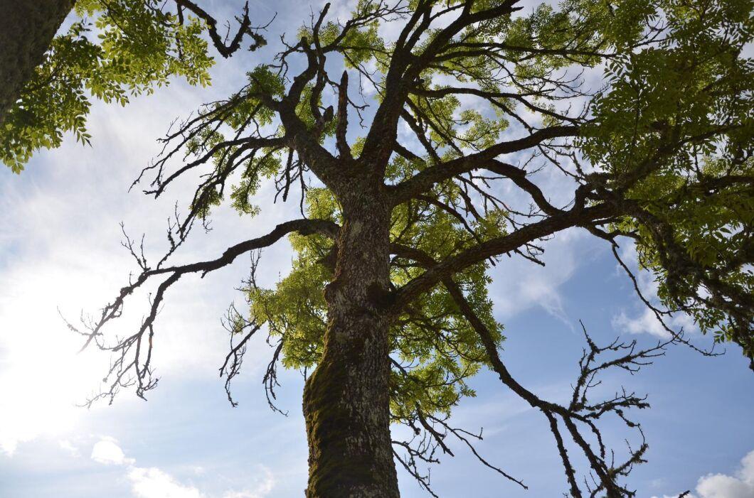 Beskärning kan åtminstone hejda förloppet av askskottsjuka i ett infekterat träd visar ny studie.
