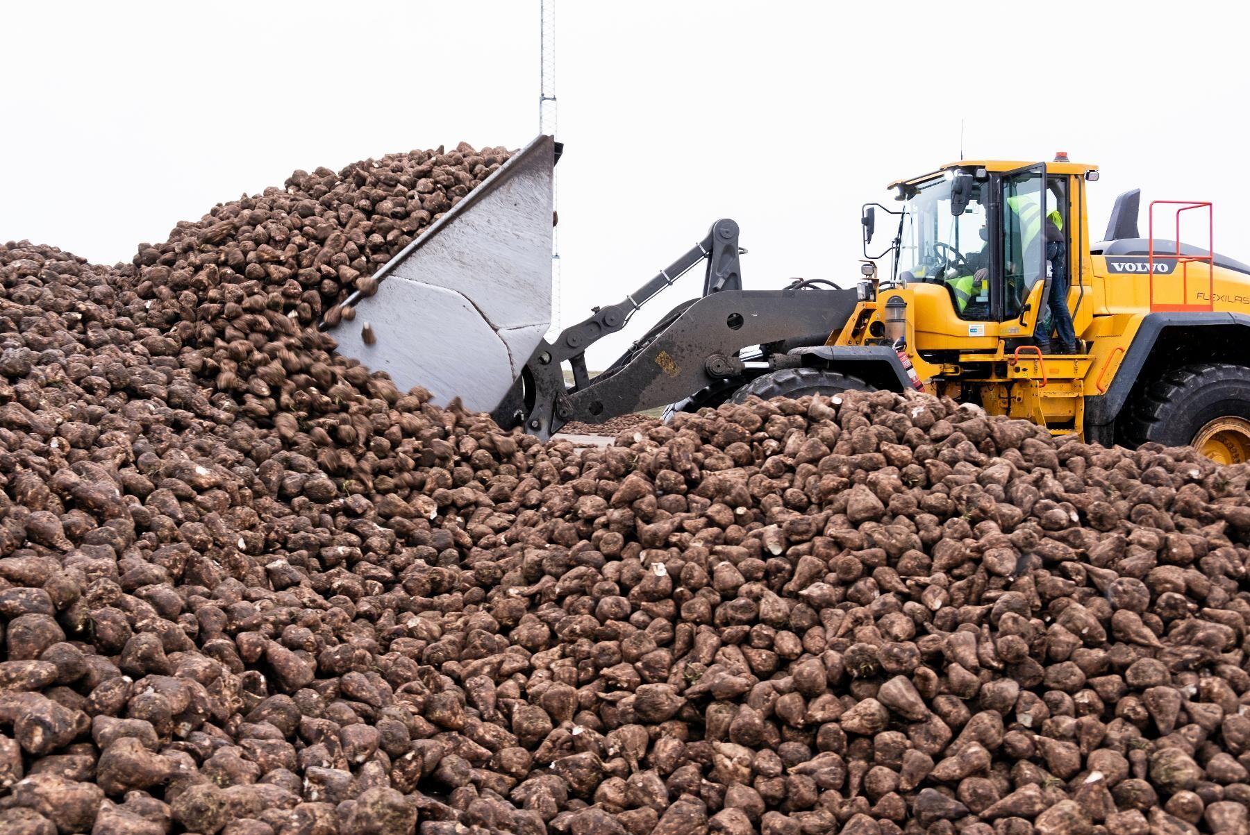Sockerbetor lastas vid bruket i Örtofta. Arkivbild.