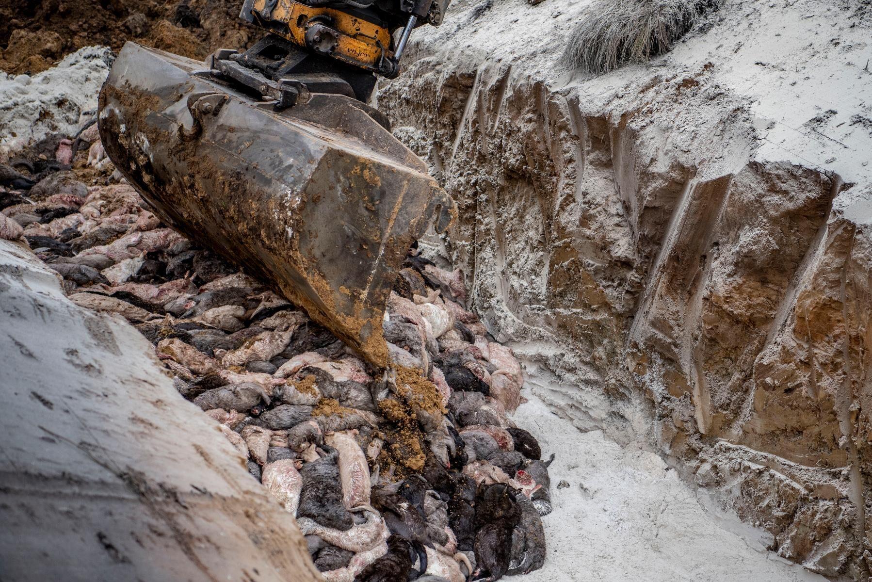 Minkkadaver dumpas i en grav utanför Holstebro på Jylland.
