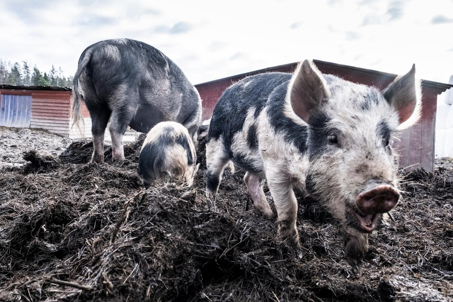 Afrikansk svinpest kan spridas genom fläskkött.