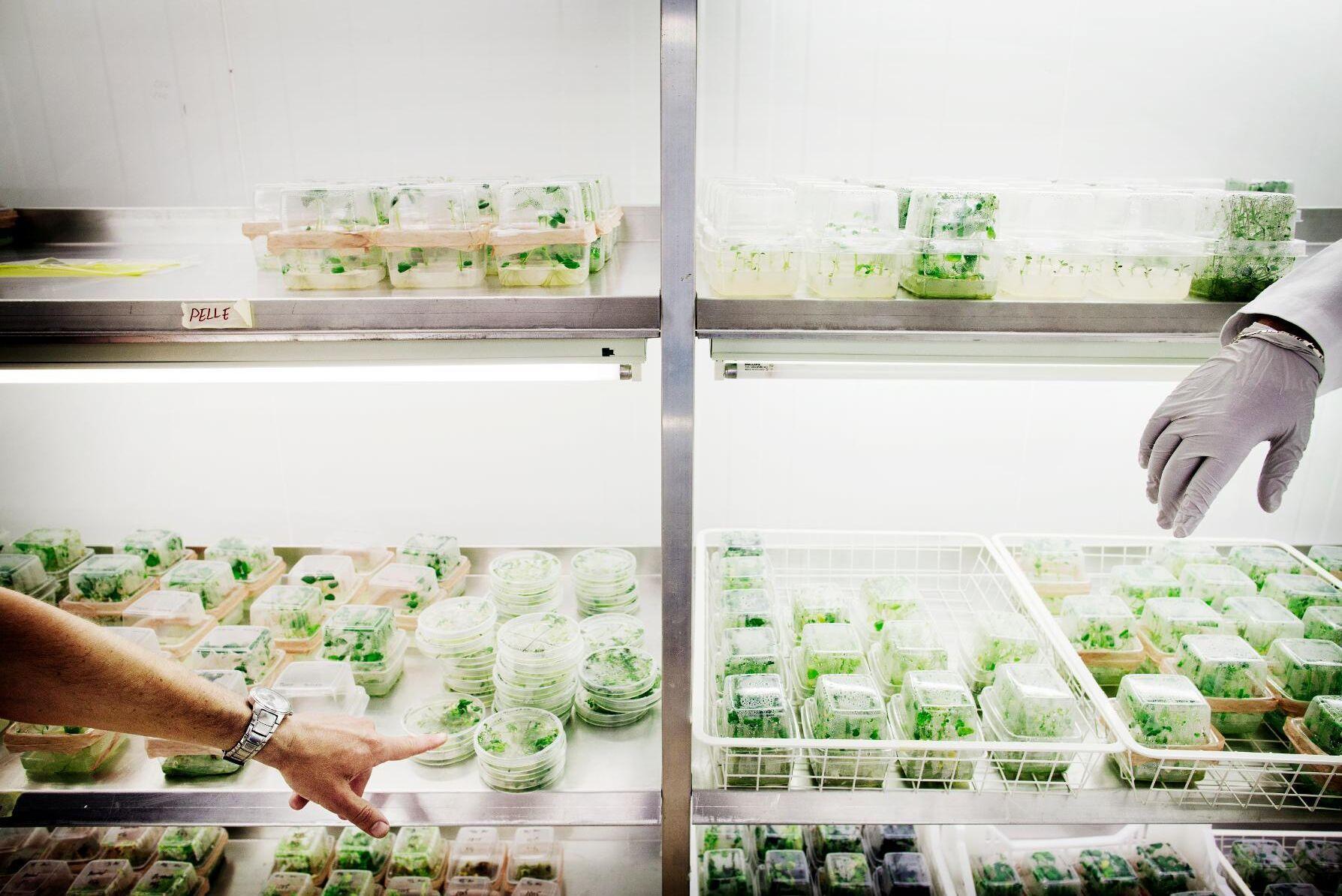 EU-kommissionen har öppnat för att diskutera regelverket för nya tekniker kring växtförädling, skriver debattörerna. Arkivbild.