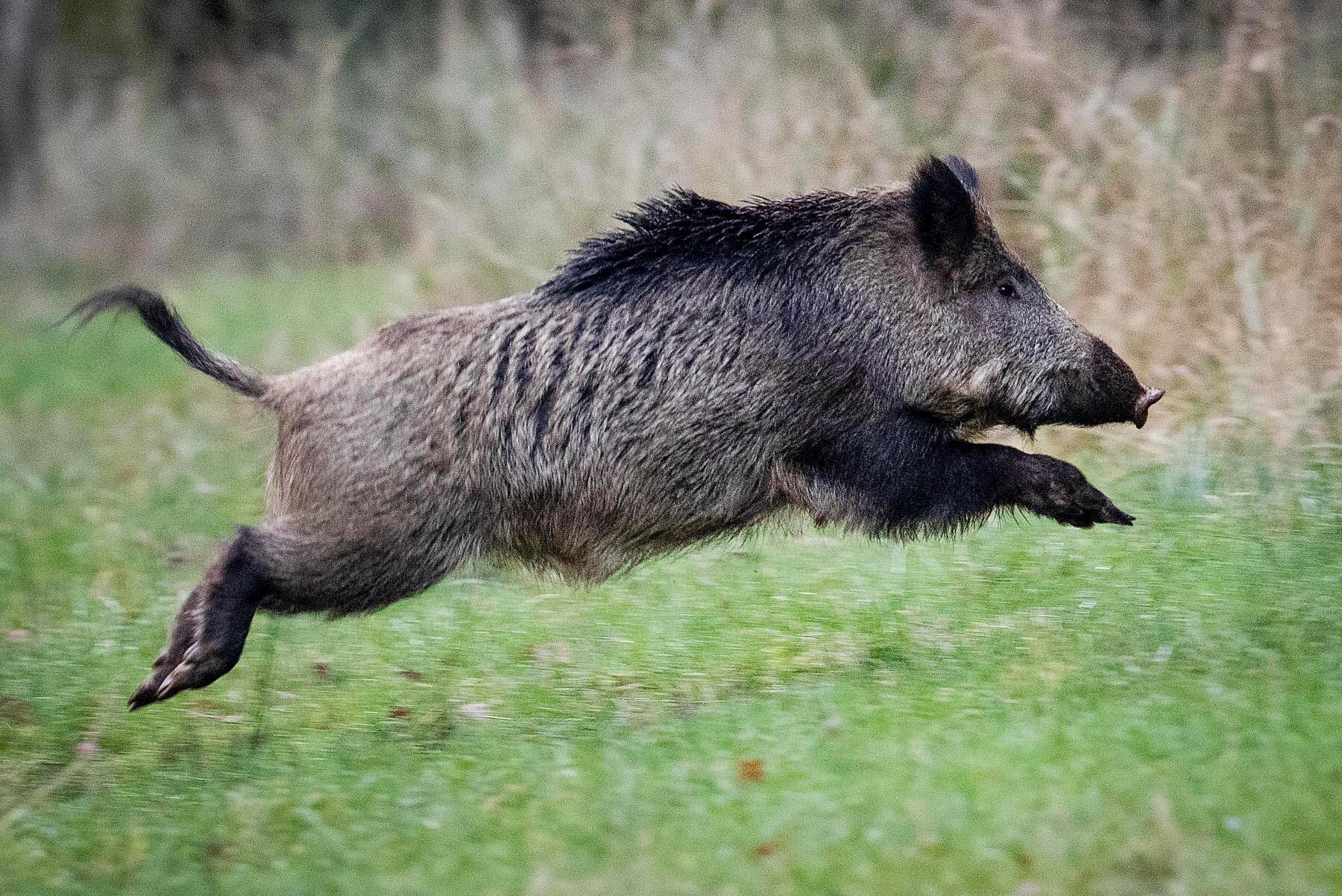 Jägaren trodde att han sköt mot vildsvin, men i stället sköt han ihjäl två kor i en hage, varav den ena var dräktig. Arkivbild.
