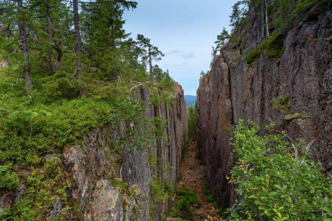 I Skuleskogens naturreservat trivs den utrotningshotade jättepraktbaggen.
