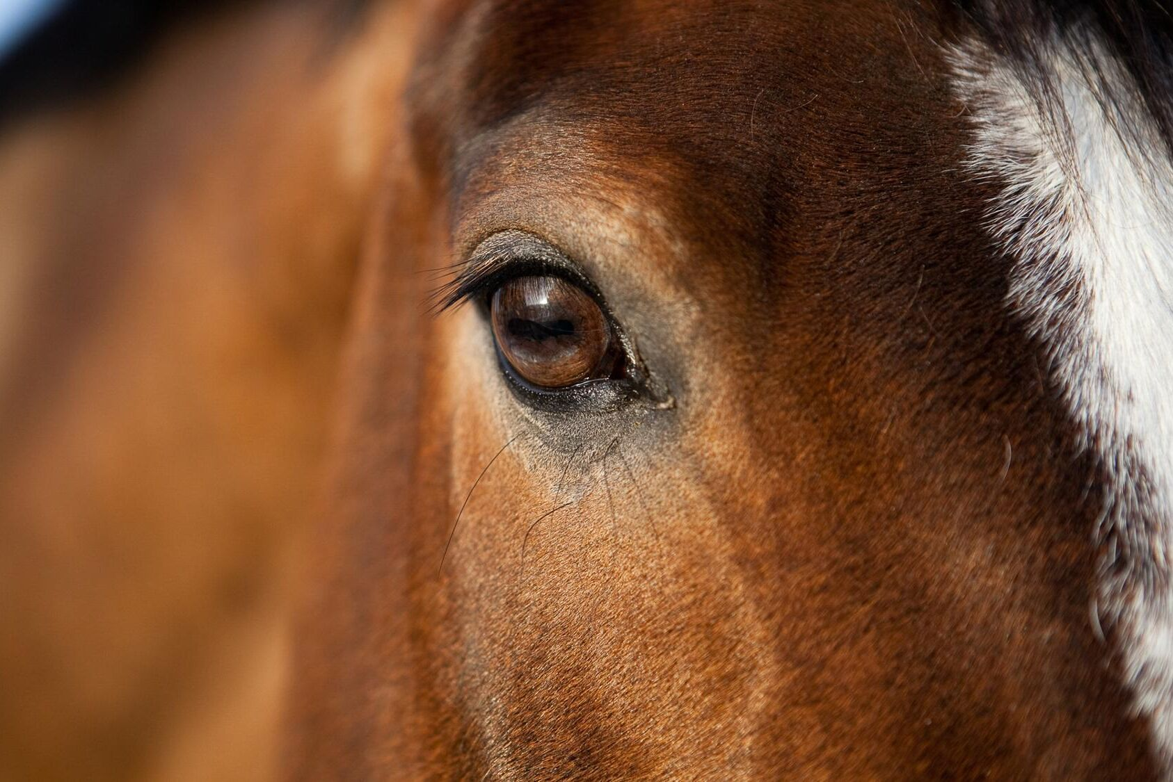 Hästar och idisslare ska få bättre välfärd i Europa.