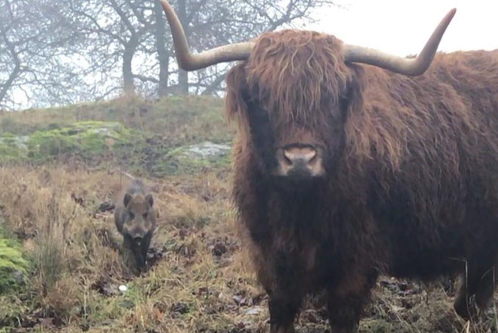 Sedan den 22 november har vildsvinskultingen vistats bland nötdjuren.