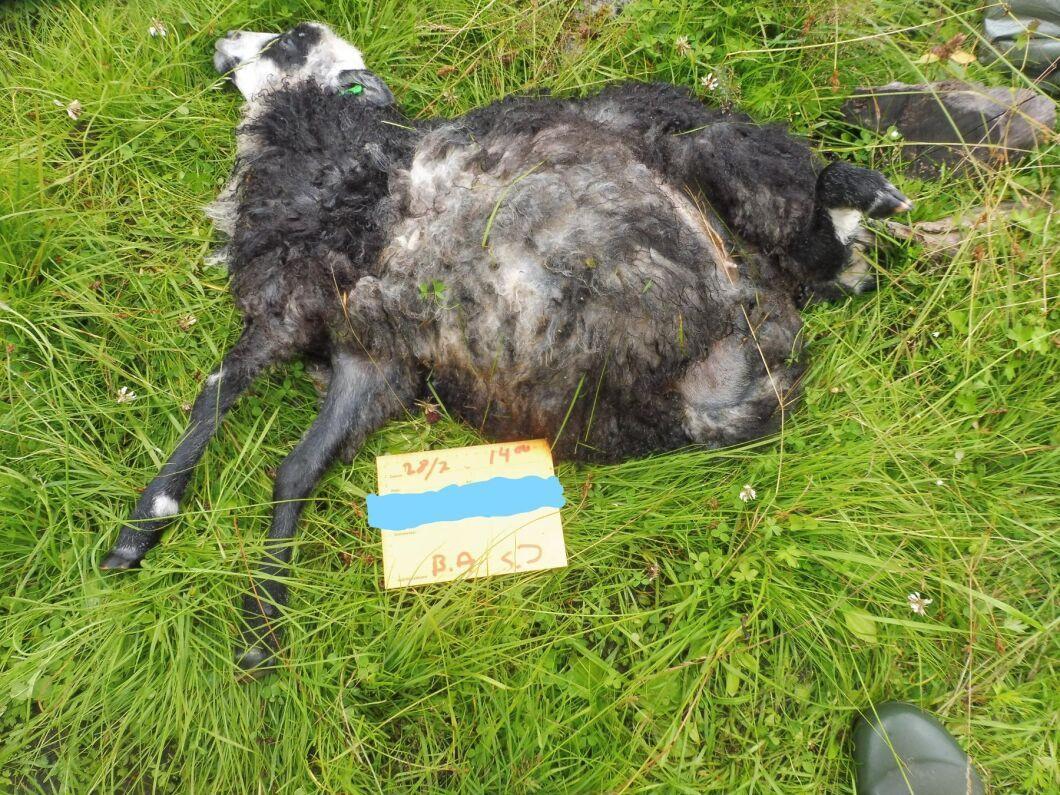 Under sommaren har flera får rivits av varg i Jönköpings län. Här är en bild från en av attackerna tidigare i somras.