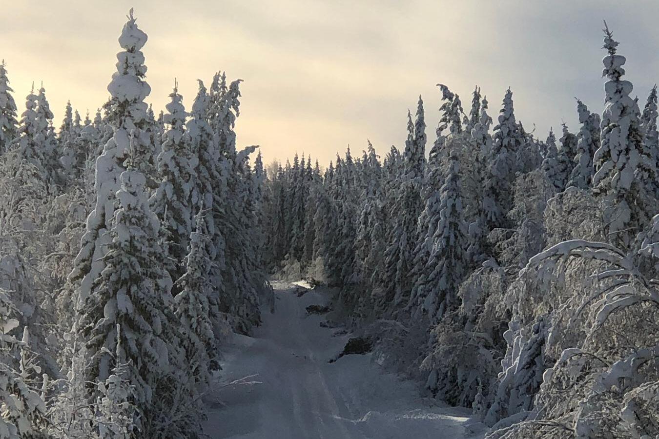 Svåra snöförhållanden har gett upphov till många snöbrott i skogen i norra och västra Hälsingland.