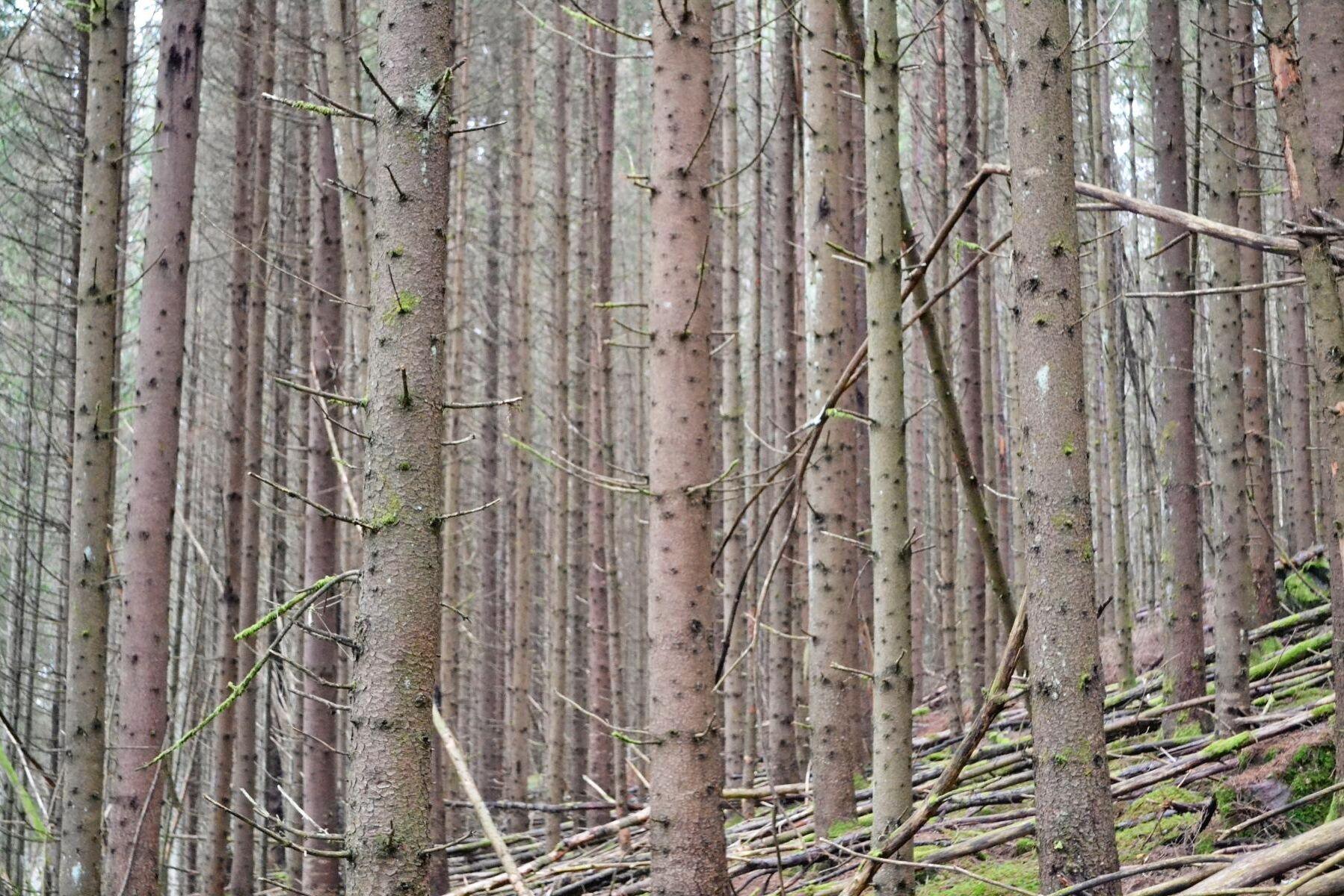 I ett stort EU-projekt ska den danska regeringen ställa om ensartad plantageskog av barrträd till mer varierade skogar som kan stå emot klimatändringen och ge större biodiversitet.