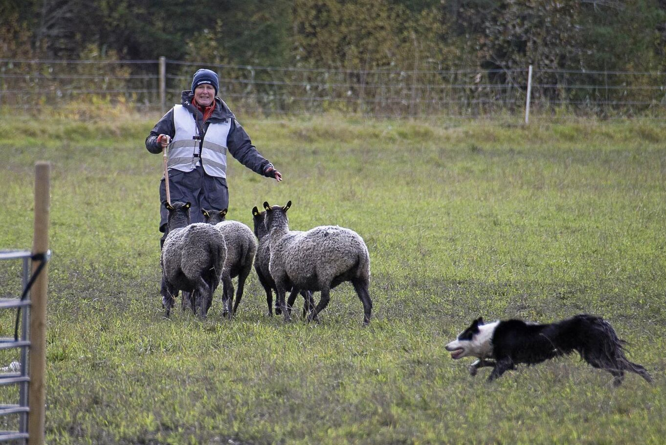 En av alla duktiga hundar var Zeven, som tillsammans med föraren Mariette Östberg slutade på en fjärdeplats. Här ska två får skiljas ut från flocken.