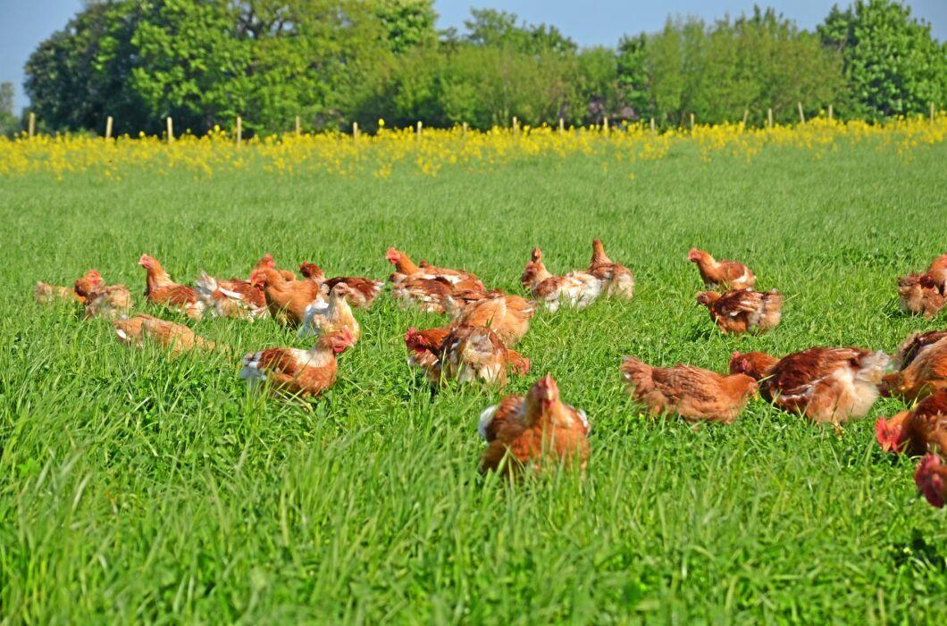 Utevistelse är en viktig del i ekologisk kycklingproduktion.