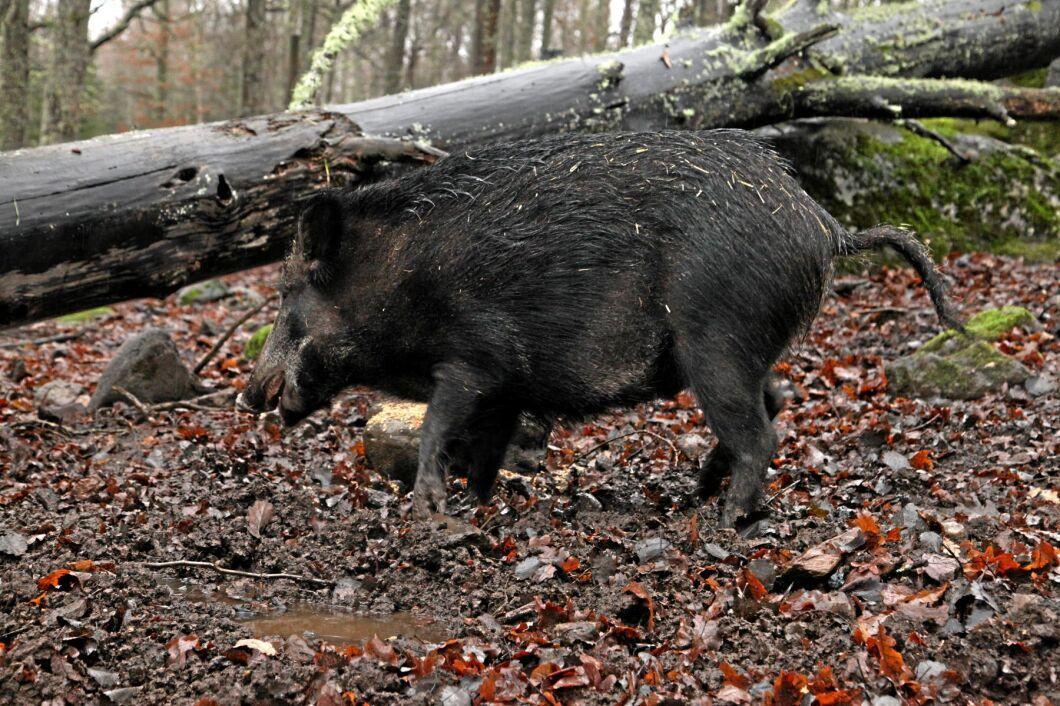Samtliga 14 vildsvin i hägnet på Öster Malma har nu avlivats (arkivbild).
