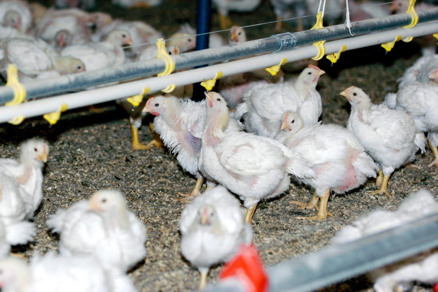 Utbrottet av fågelinfluensan fortsätter. Senast att drabbas är en gård med slaktkycklingar. Arkivbild.