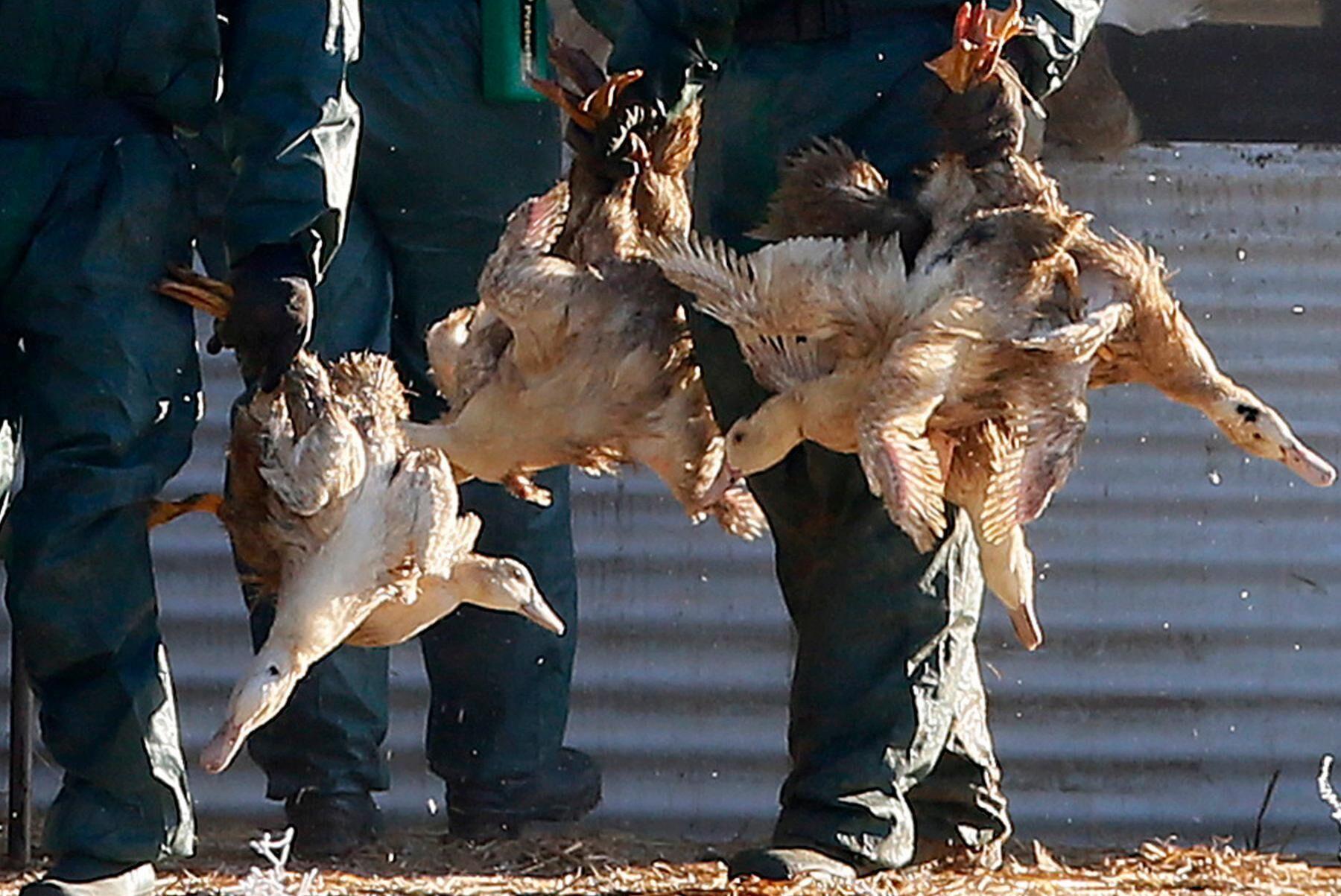 Ankor avlivas i Frankrike för att få stopp på spridningen av en smittsam fågelinfluensa. Arkivbild från en fransk gård vid ett liknande utbrott år 2017.