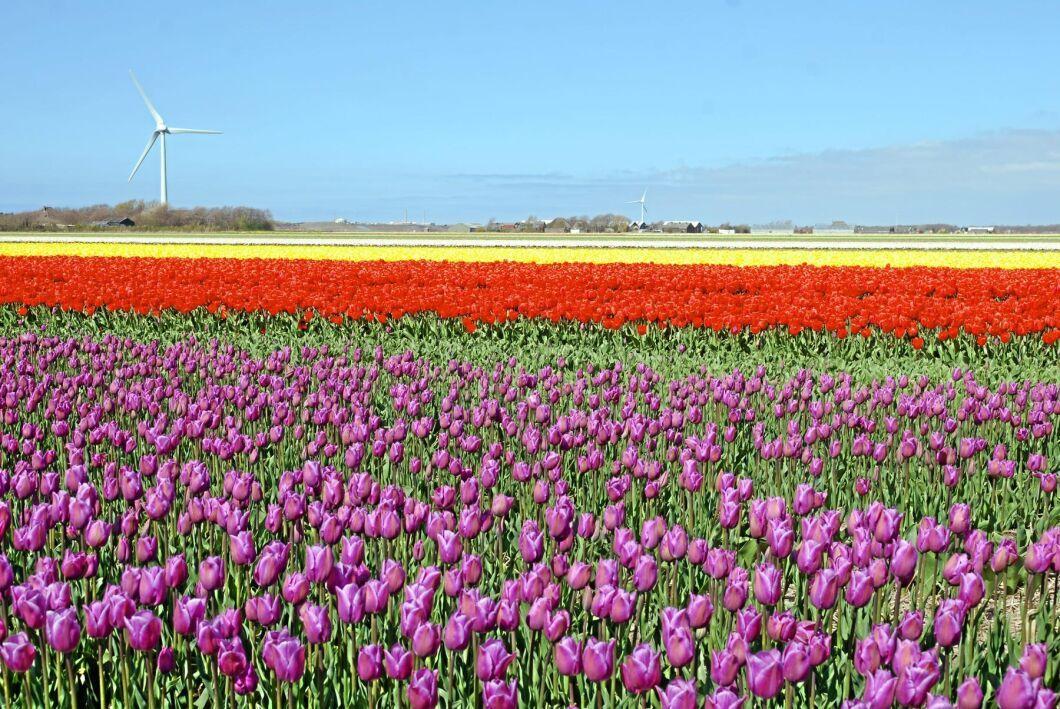 Nederländernas berömda tulpanodlingar blommar förgäves när marknaden för blommor coronakraschat.