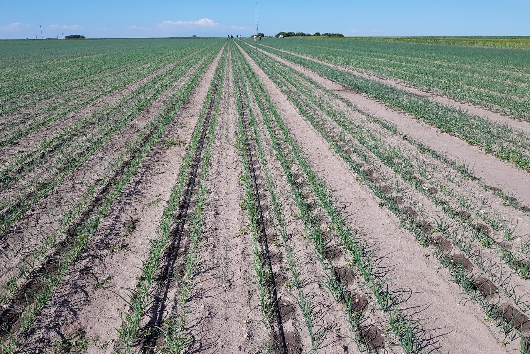 Fältförsöken har varit omkring två till tre hektar stora, och utgångspunkten har i första hand varit att ta reda på om och när droppbevattning kan vara ekonomiskt försvarbart. Ambitionen är att göra om försöket redan nästa år.