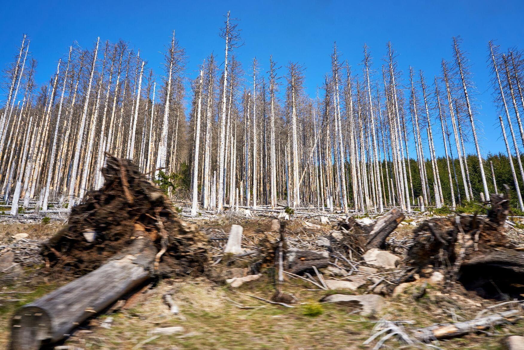 Stora delar av Tysklands skogar mår dåligt. Tidigare effekter av stormar och angrepp av granbarkborre förvärras av tre extremt torra somrar i rad.
