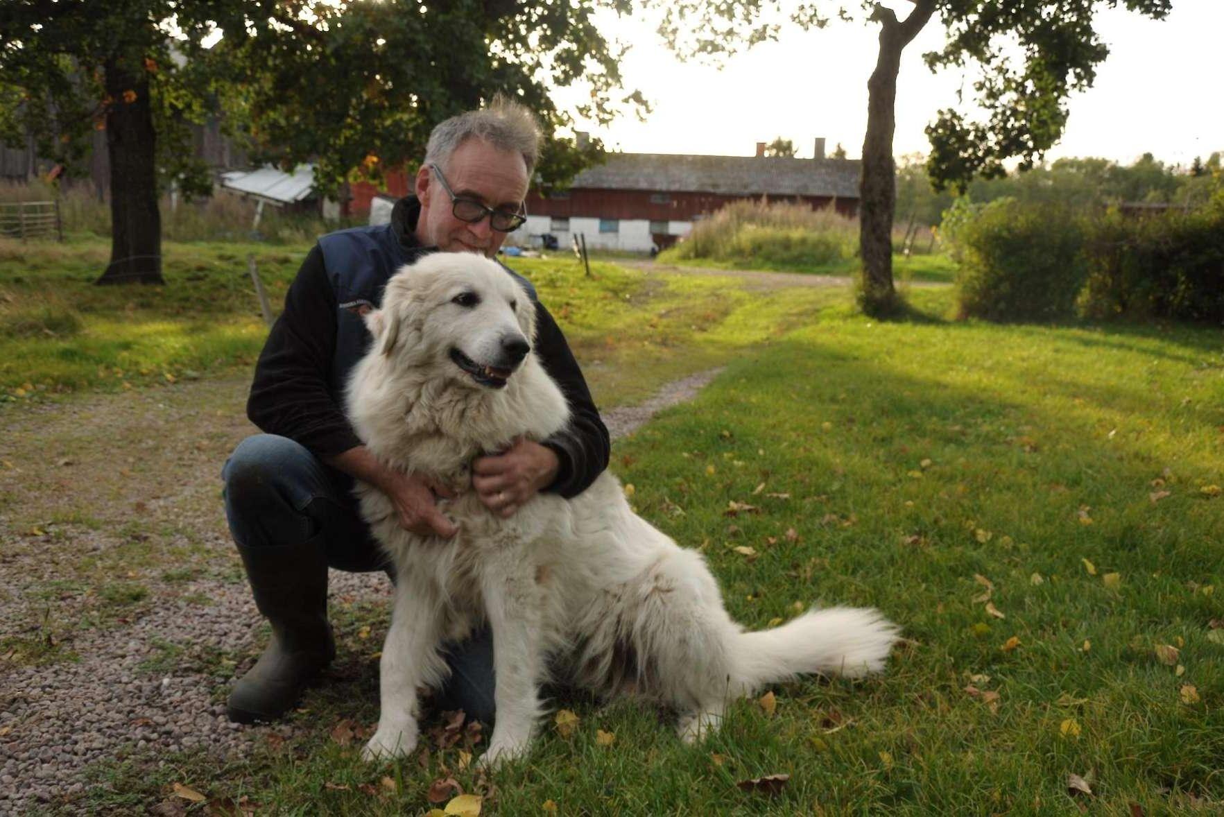 Ulf Ekholm vid svenska fåravelsförbundet med en av sina boskapsvaktande hundar.