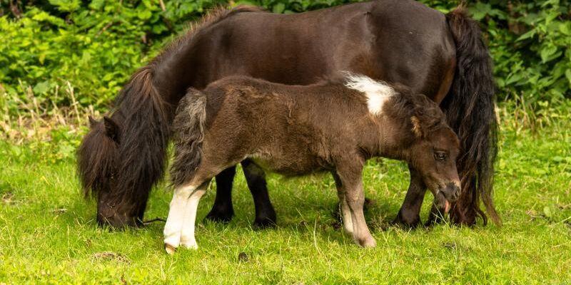 En specifik kombination av gener gör att hästars mankhöjd begränsas.