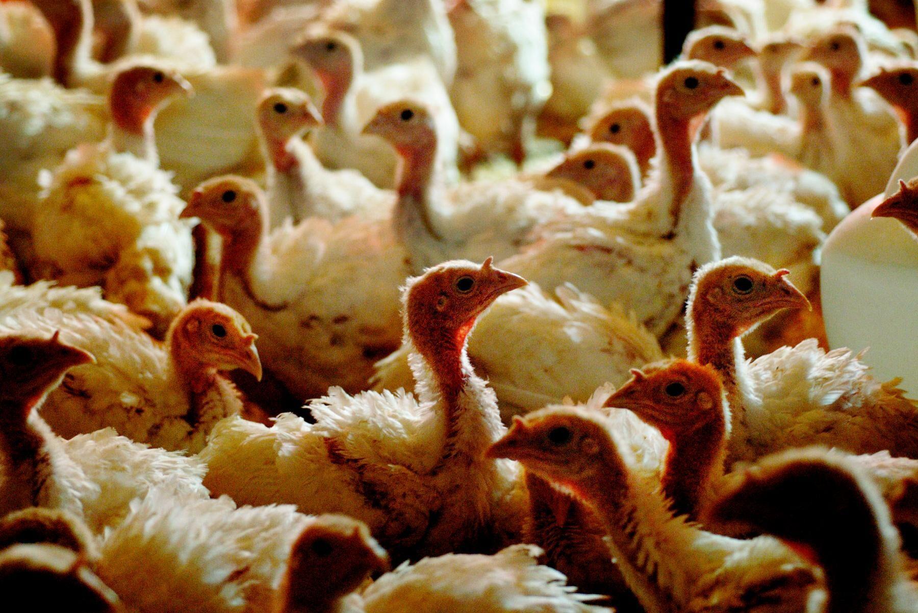Ett nytt utbrott av fågelinfluensa i Skåne har tvingat fram en nödslakt. Arkivbild.
