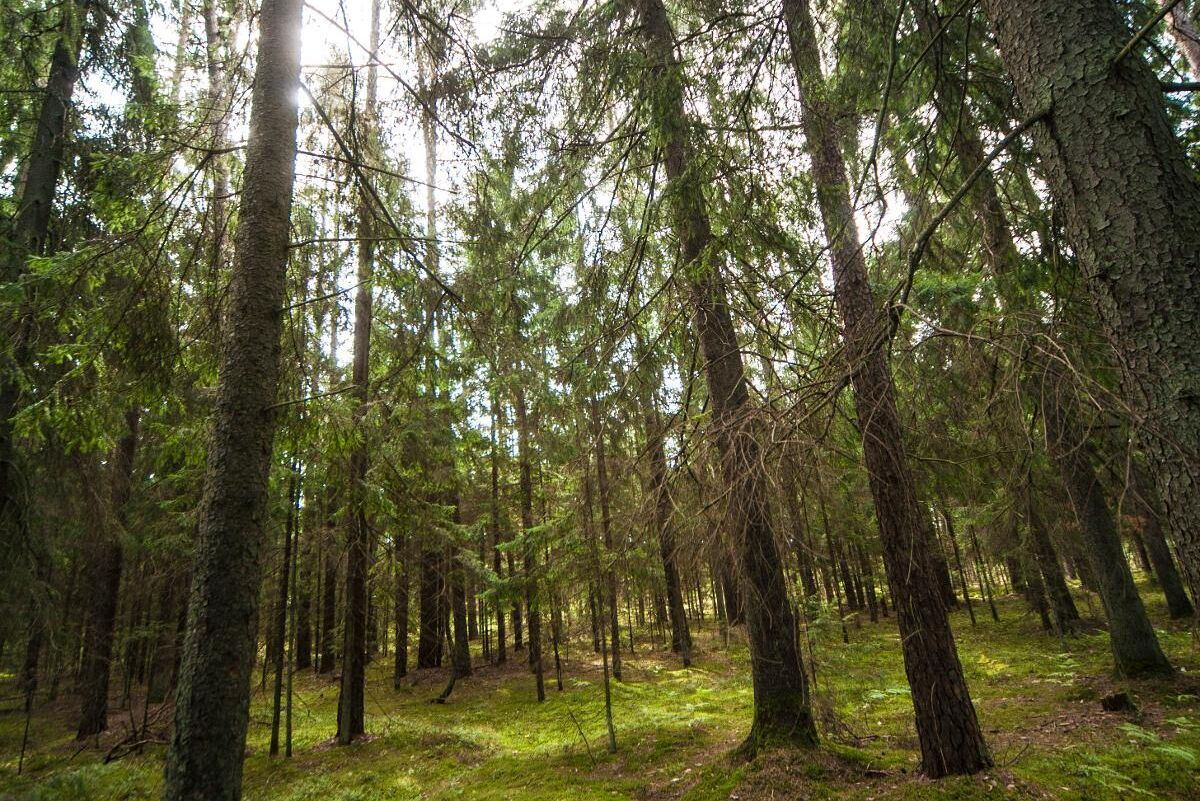 Granskog i Lekeciai utanför Kaunas.