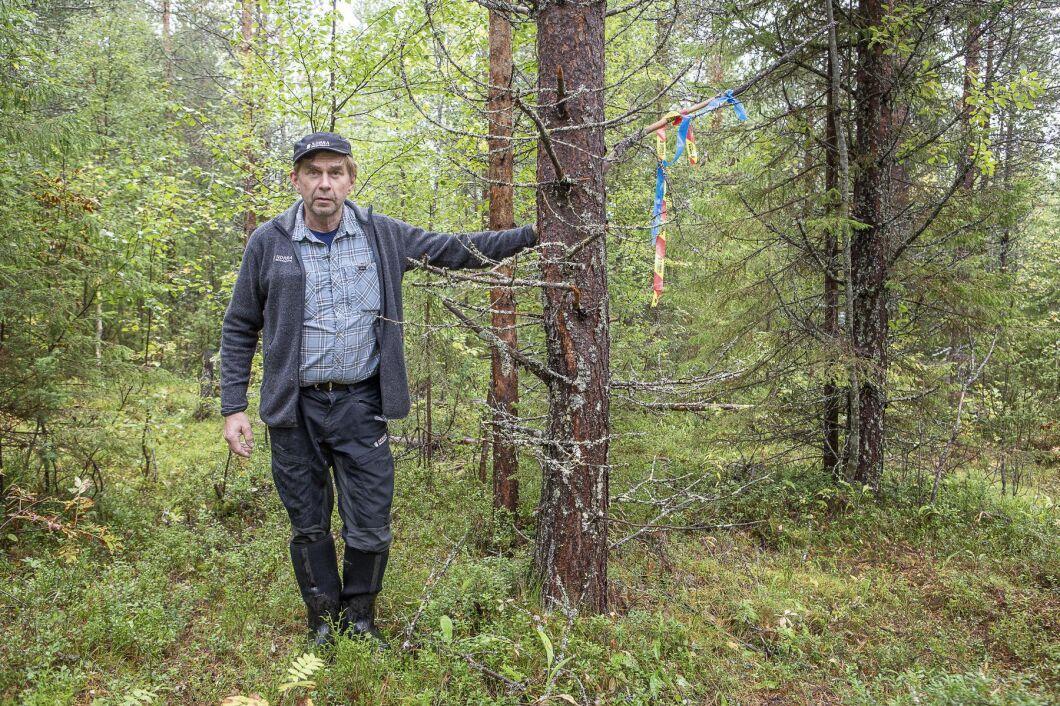 Håkan Önneholm visar hur en cirka 30 år gammal tall sakta håller på att strypas av törskateangrepp på stammen. Stammen blir ihoptryckt av angreppet.