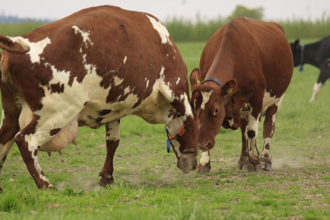 Kosläppet kan dra till sig oönskade besök från djurrättsaktivister. Flera bönder i Blekinge har därför varit i kontakt med polisen uppger SVT Blekinge. Arkivbild.