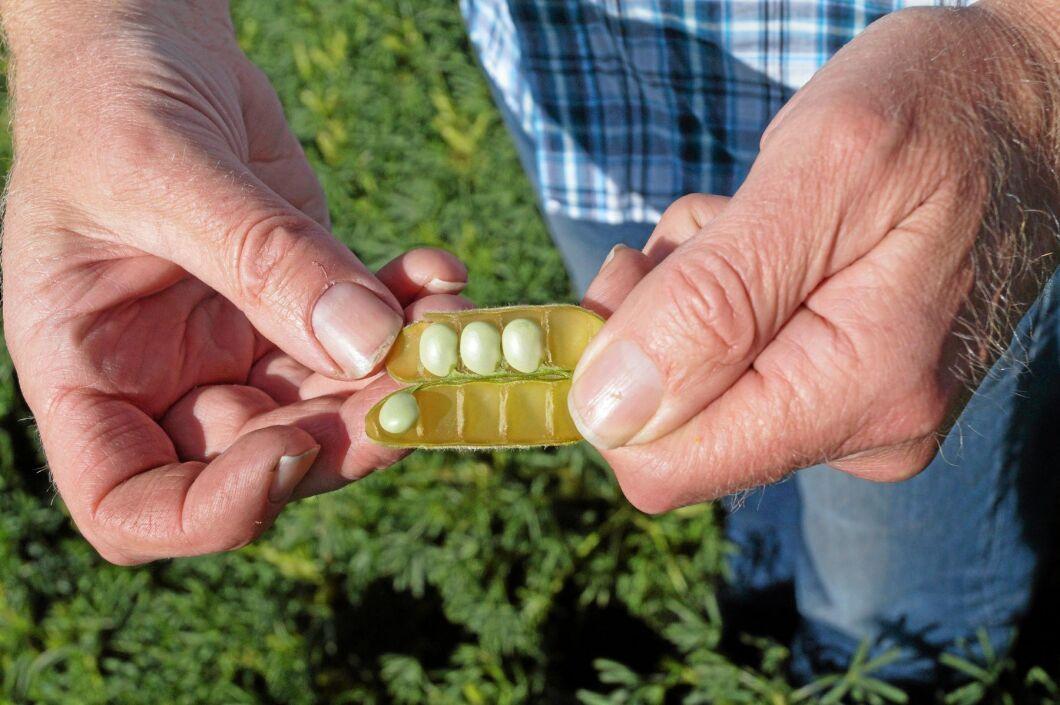 Lupinböna. En fullmatad balja innehåller fyra, fem bönor.