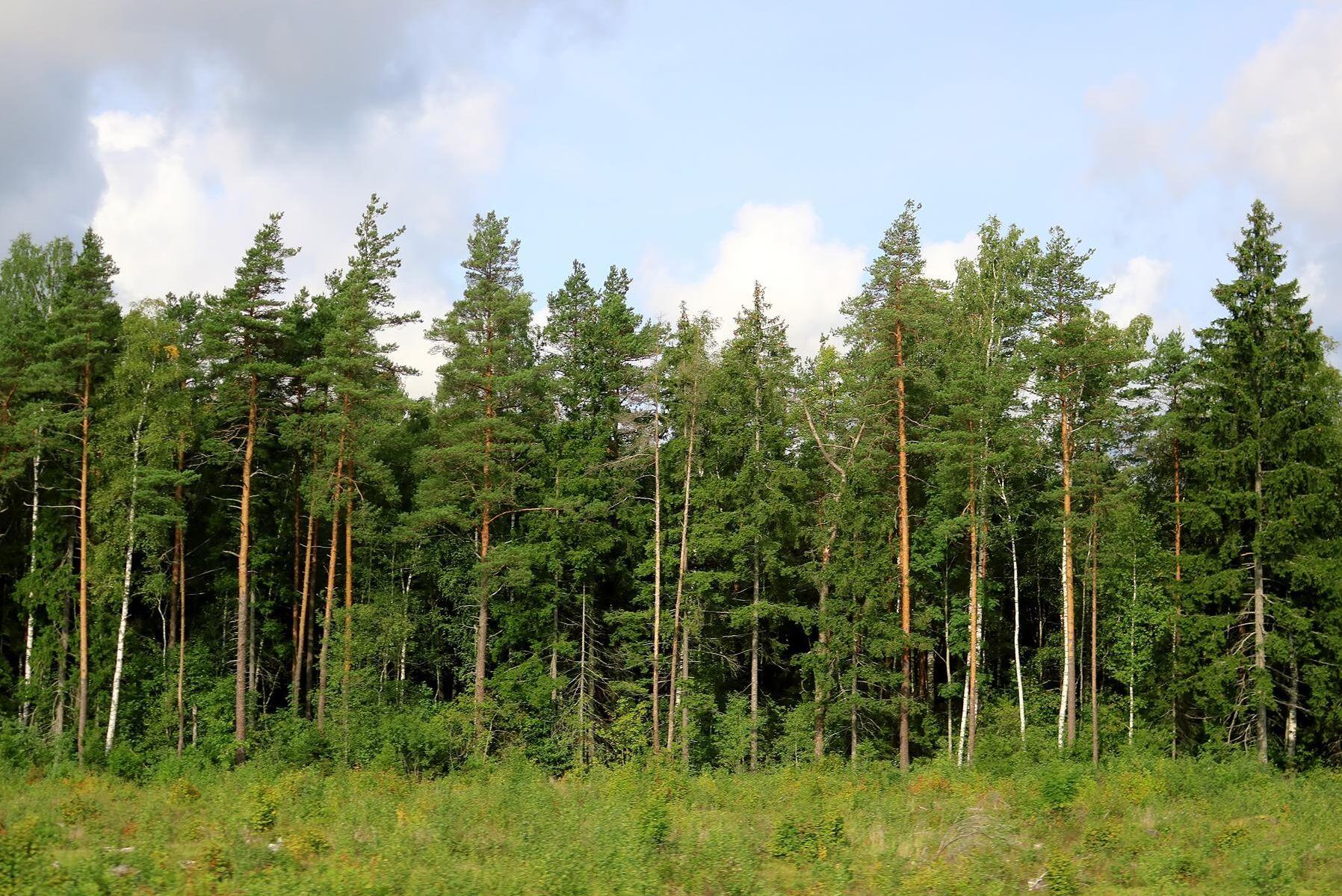I en analys konstaterar Aktiespararna att priset på skog i Lettland är en femtedel jämfört med Götaland, trots att tillväxten är densamma. Dessutom är lönsamhetskvoten vid avverkning det dubbla jämfört med svensk skog. (Arkivbild)