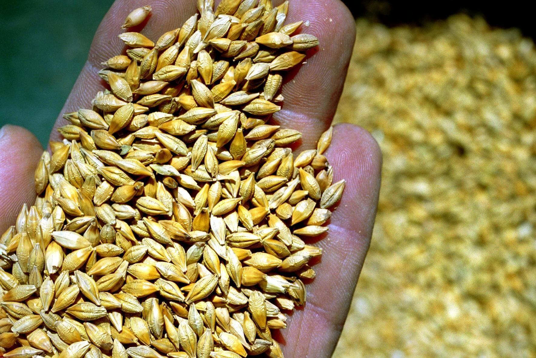 Årets svenska kornskörd har varit både mindre och sämre än väntat på grund av torkan. Det tvingar maltproducenterna att importera.