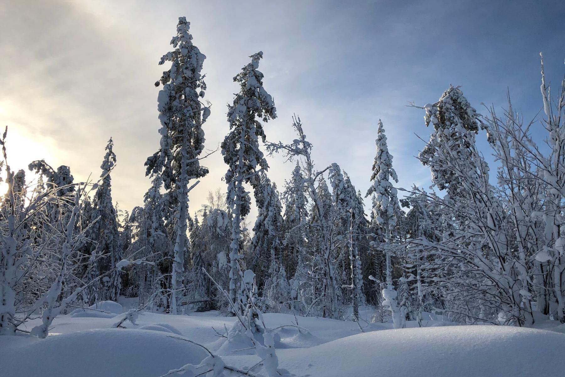 Blötsnö som frusit fast i kronorna knäcker träden, och riskerna bedöms minska först när det börjar töa.