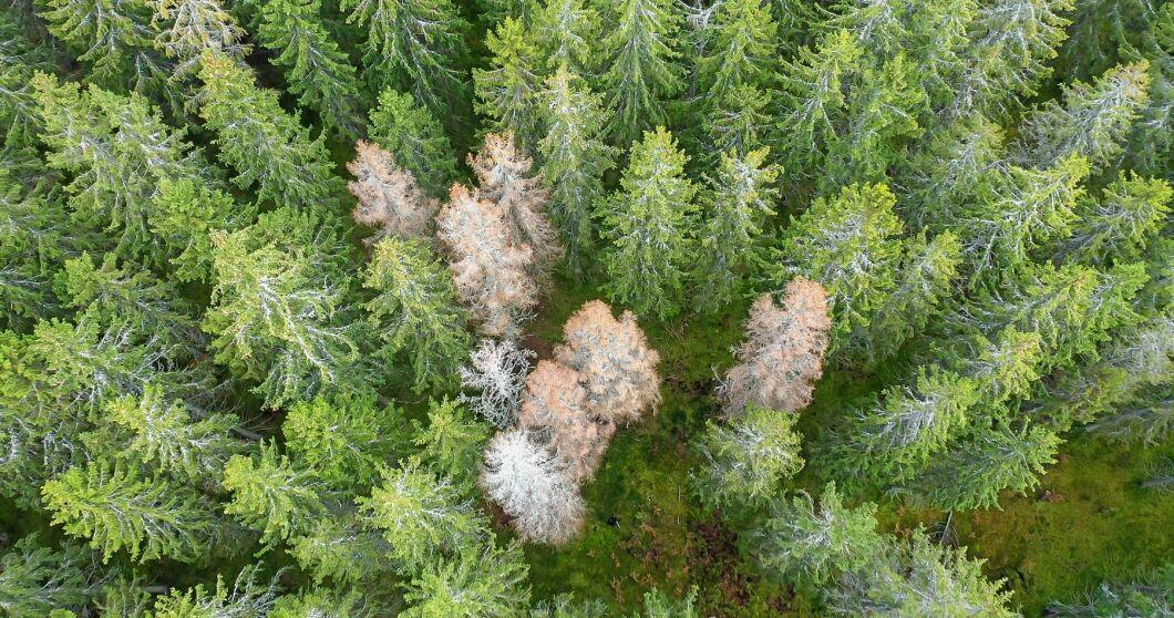 Det finns många arter av barkborrar i Sverige, och vill det sig illa kan de bli ännu fler.