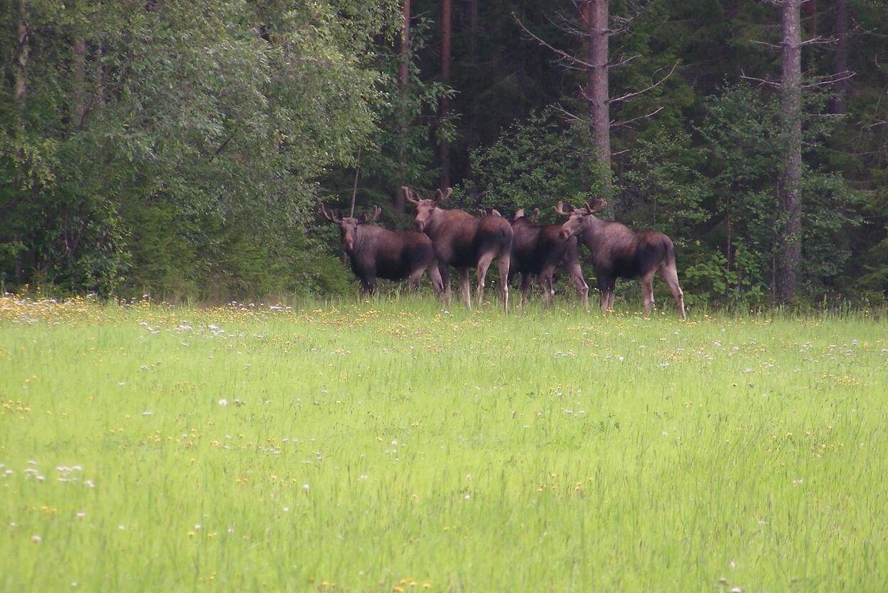 Bara 2 procent av landets älgförvaltningsområden når målet för viltskador på skog.
