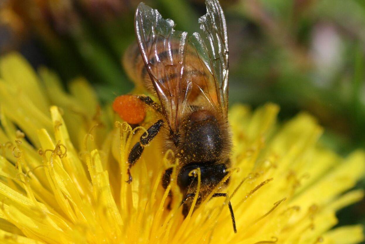 Neonikotinoider har förbjudits för att skydda viktiga pollinerare, som honungsbin.