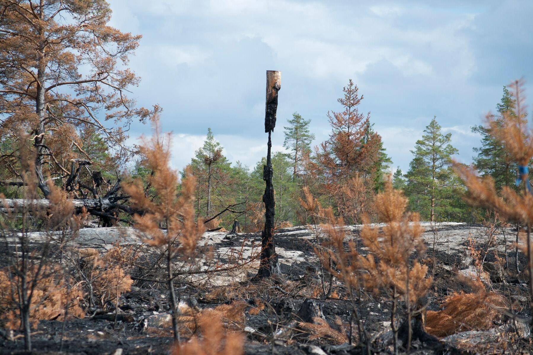 Skogsägare behöver inte stressa med att rensa upp i brandskogen av rädsla för insekter och svampar. Någon risk för ökade angrepp finns inte i år, enligt Skogsstyrelsen.