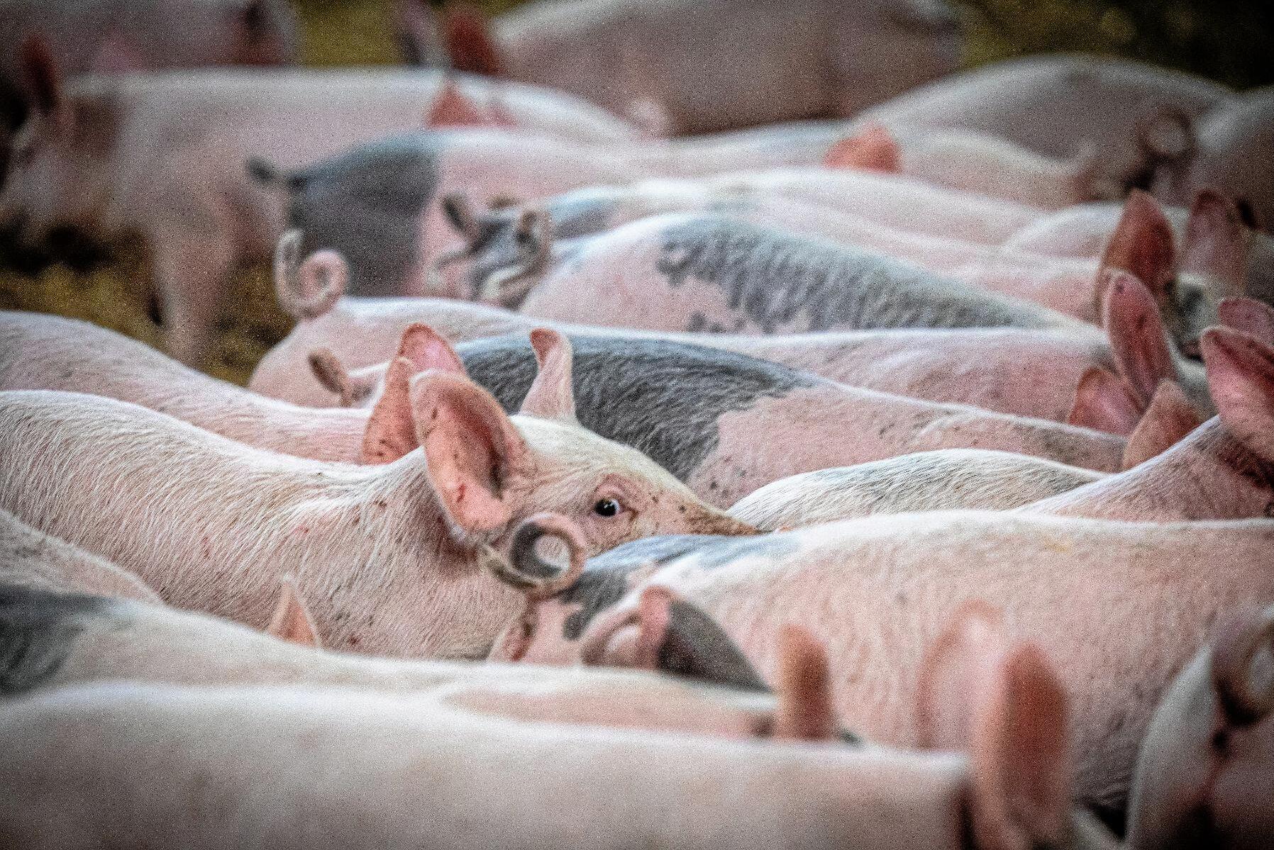 Godkänns EU-kommissionens förslag kan grisar återigen utfodras med animaliskt protein. Arkivbild.
