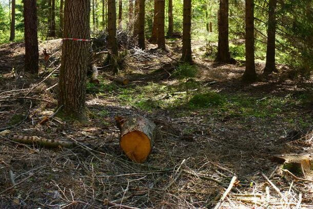 Vid denna plockhuggning utanför Göteborg skapar luckhuggningen förutsättningar för arterna i skogen till höger i bild att vandra in i granskogen till vänster i bild.