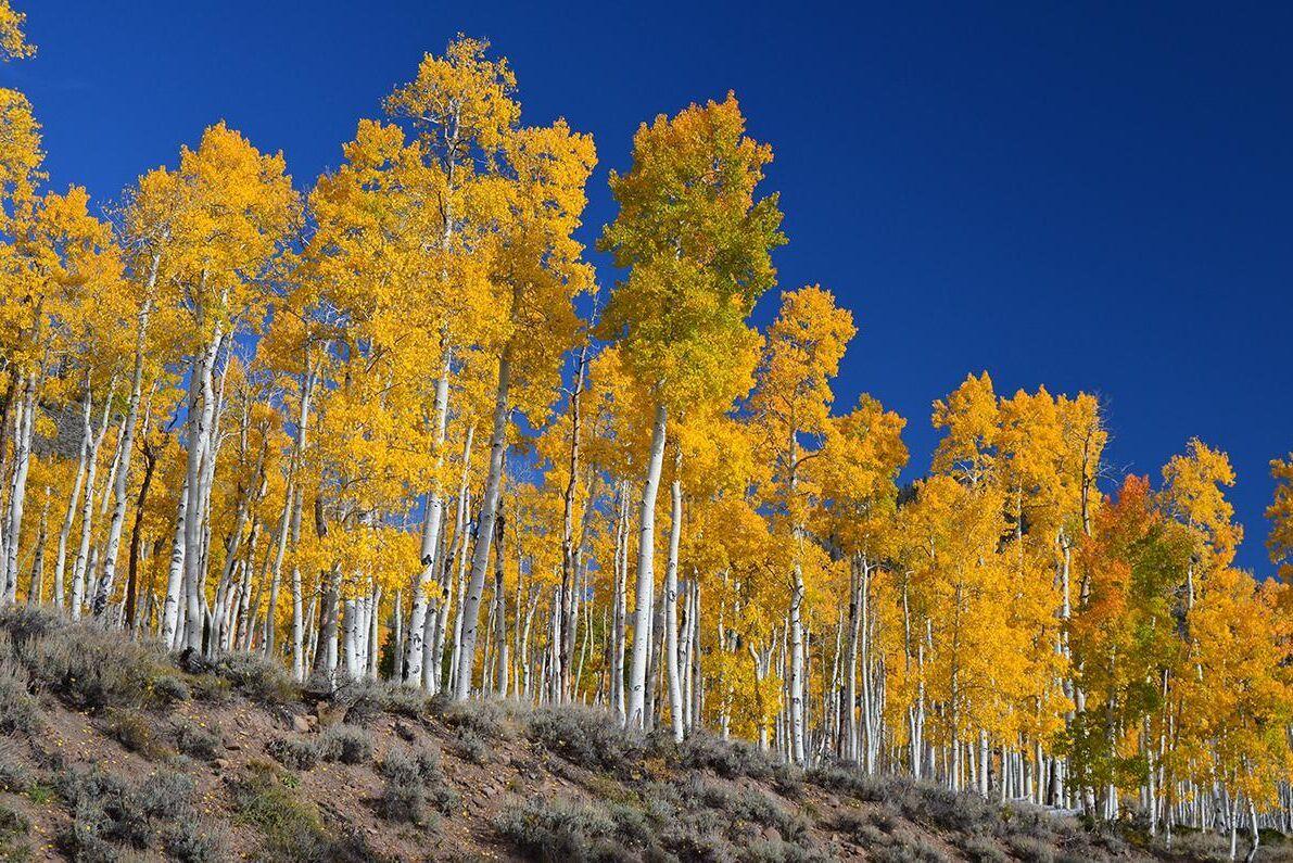 Skogen Pando i den amerikanska delstaten Utah är en enda individ bestående av tiotusentals träd. Forskning visar att skogen nu håller på att krympa och riskerar att dö.
