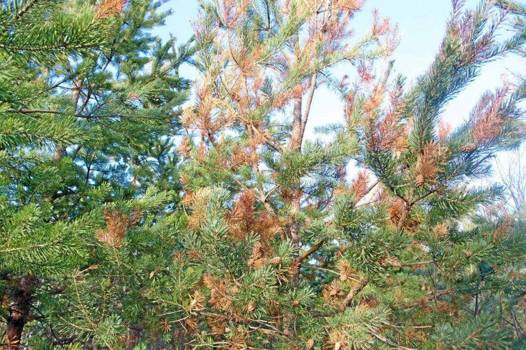 Diplodiasjukan visar sig bland annat som bruna årsskott, framför allt på yngre tallar.