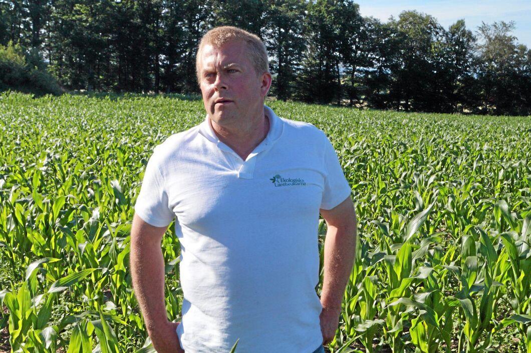 Kärnmajs. Magnus Bengtsson odlar ekologisk kärnmajs.