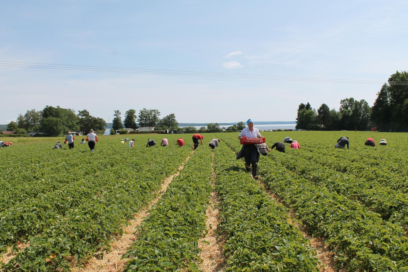 Värmlandsbär har i år odlat jordgubbar på cirka två hektar. Bilden är från ett annat år.